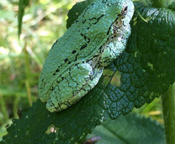 Ontario Tree Frog